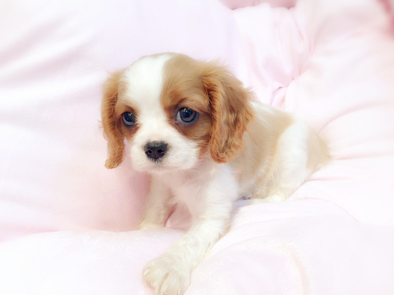 Puppies Cavalier King Charles Spaniel Puppies For Sale