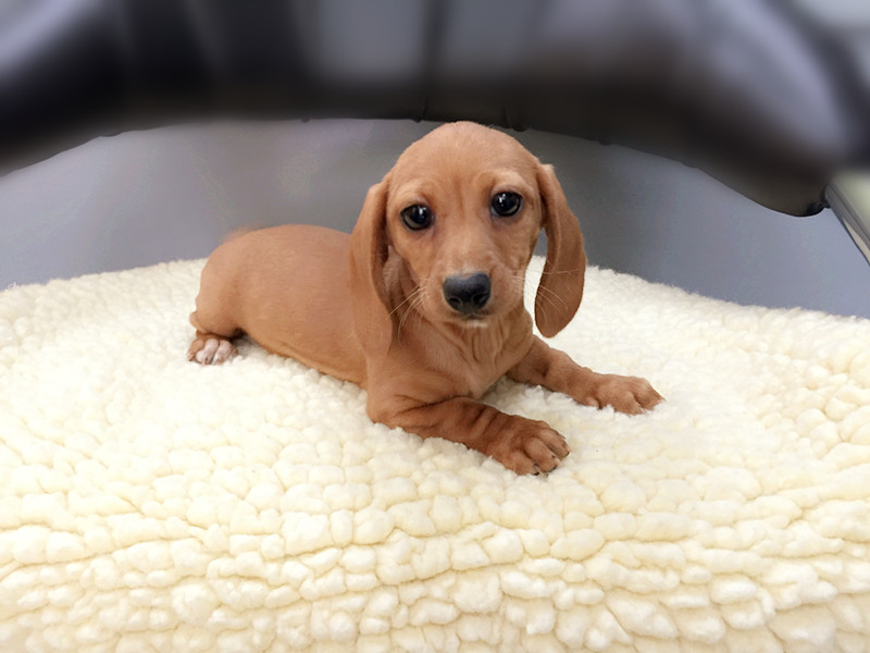 Dachshund for sale in new york