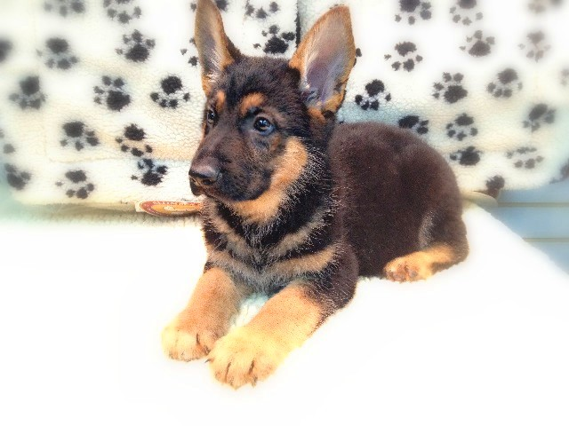 Puppies German Shepherd Puppies For Sale