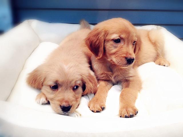 Puppies Golden Retriever Puppies For Sale