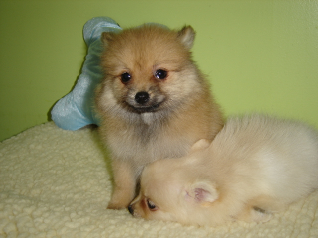 Puppies Pomeranian Puppies For Sale
