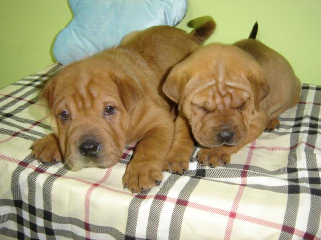Shar Pei Mix Puppies Shar-pei_beagle_110110.jpg